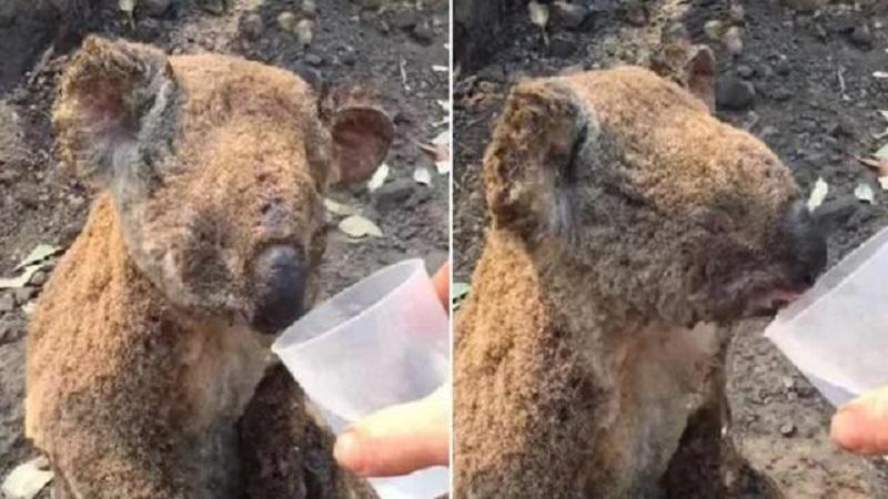 Koala sopravvissuto alle fiamme