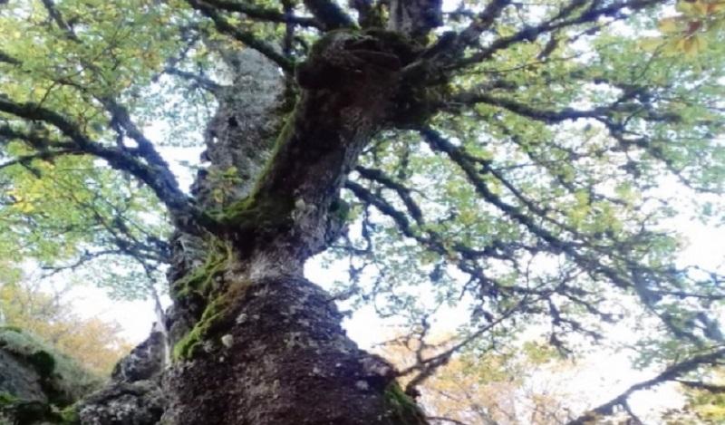 una quercia di 560 anni
