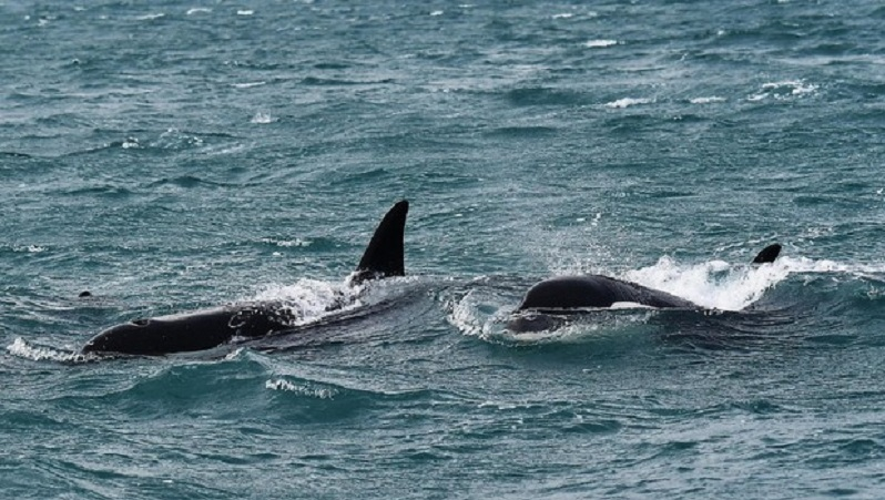 orche nello stretto